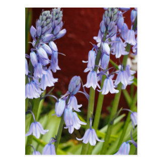 Bellflowers in Front of a Red Wall Postcard