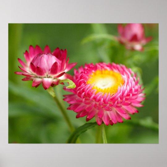 Bellis Perennis Flower Poster
