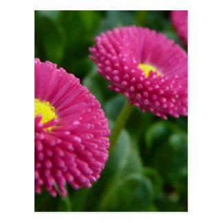 Bellis perennis Pomponette English Daisies Postcard