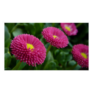 Bellis perennis Pomponette English Daisies Poster