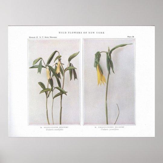 Bellwort Sésil-Con hojas - sessilifolia del Póster
