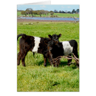 Belted_Galloway_Calves_In_Field_Small_Note_Card. Card