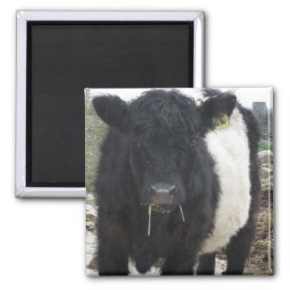 Belted Galloway Cow Eating Hay 2 Inch Square Magnet
