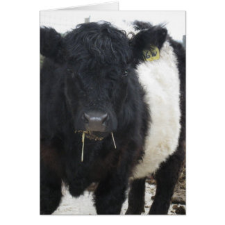 Belted Galloway Cow Eating Hay Card