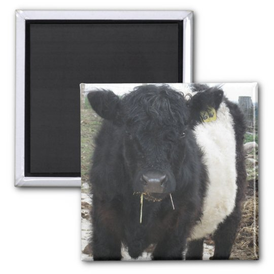 Belted Galloway Cow Eating Hay Magnet