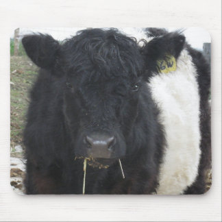 Belted Galloway Cow Eating Hay Mouse Pad