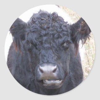 Belted Galloway Cow - Emma Classic Round Sticker