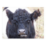 Belted Galloway Cow - Emma Postcard