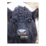 Belted Galloway Cow - Emma Postcards