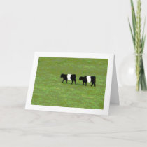 Belted Galloway cows card