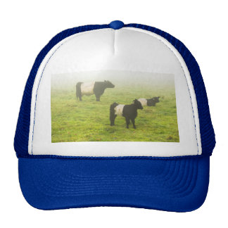 Belted Galloway Cows Grazing In foggy Farm Field Hat