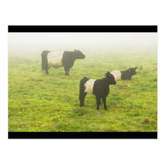 Belted Galloway Cows Grazing In foggy Farm Field Postcard