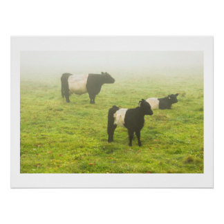 Belted Galloway Cows Grazing In foggy Farm Field Poster