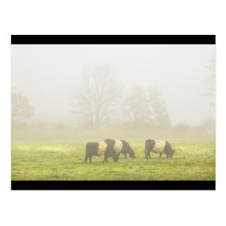 Belted Galloway Cows Grazing On foggy Farm Field Post Card