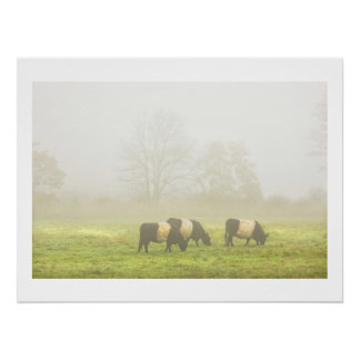 Belted Galloway Cows Grazing On foggy Farm Field Poster