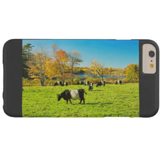 Belted Galloway Cows Grazing On Grass In Fall Barely There iPhone 6 Plus Case