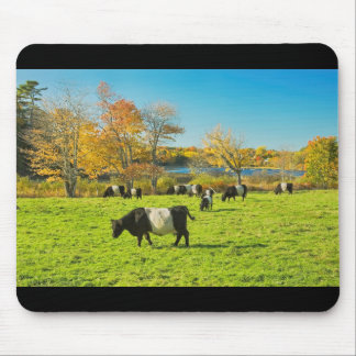Belted Galloway Cows Grazing On Grass In Fall Mouse Pad