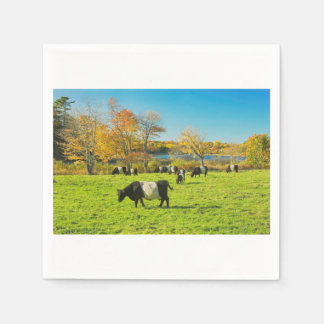 Belted Galloway Cows Grazing On Grass In Fall Paper Napkin