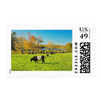 Belted Galloway Cows Grazing On Grass In Fall Postage