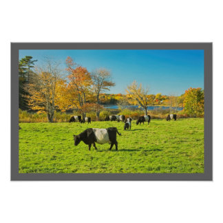 Belted Galloway Cows Grazing On Grass In Fall Poster