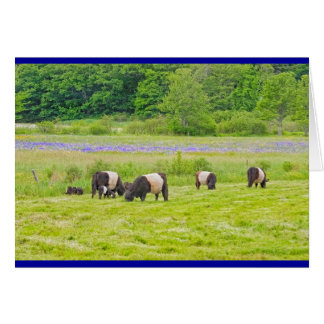 Belted Galloway Cows in Pasture Rockport Maine Card