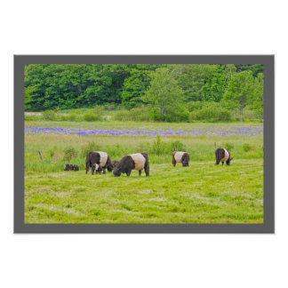 Belted Galloway Cows in Pasture Rockport Maine Poster
