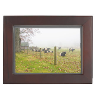 Belted Galloway Cows in Rockport Maine Memory Box