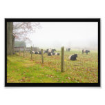 Belted Galloway Cows in Rockport Maine Photo Print