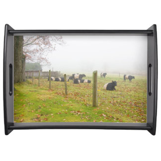 Belted Galloway Cows in Rockport Maine Service Trays