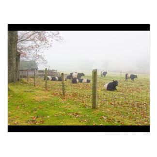 Belted Galloway Cows in Rockport Maine Postcard