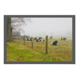 Belted Galloway Cows in Rockport Maine Poster