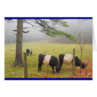 Belted Galloway Cows On Farm In Rockport Maine Card