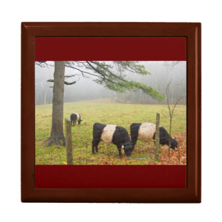 Belted Galloway Cows On Farm In Rockport Maine Jewelry Box