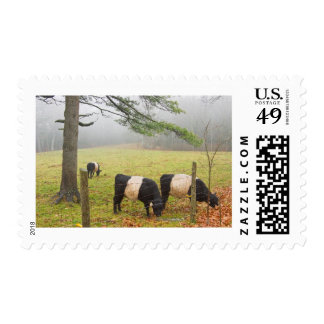 Belted Galloway Cows On Farm In Rockport Maine Postage