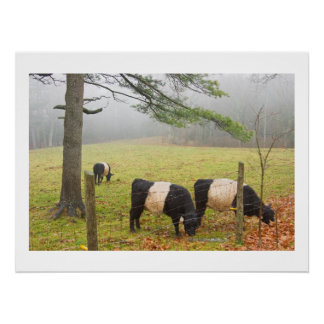 Belted Galloway Cows On Farm In Rockport Maine Poster
