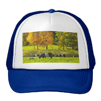 Belted Galloway Cows On Rockport Maine Farm Hats