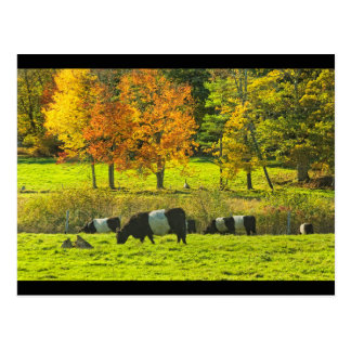 Belted Galloway Cows On Rockport Maine Farm Postcard