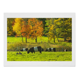 Belted Galloway Cows On Rockport Maine Farm Poster