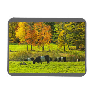Belted Galloway Cows On Rockport Maine Farm Rectangular Photo Magnet