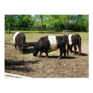 Belted Galloway Postcard