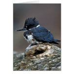 Belted Kingfisher Cards