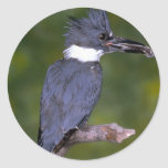 Belted Kingfisher Classic Round Sticker
