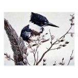 Belted kingfisher (female) post cards