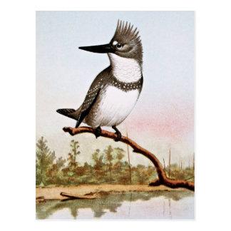 Belted Kingfisher Illustration Postcard