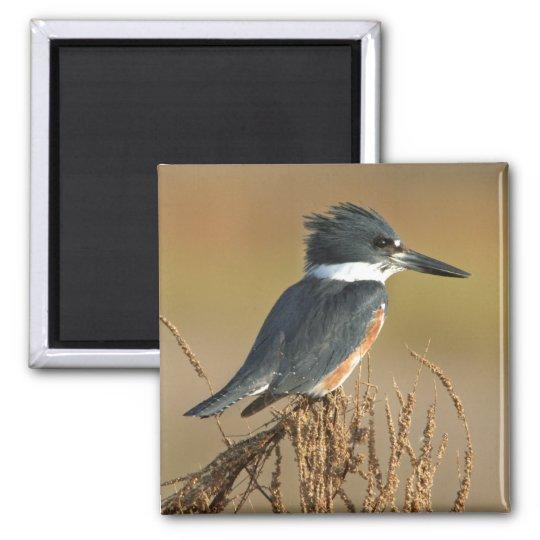 Belted Kingfisher Magnet