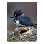 Belted Kingfisher Post Card