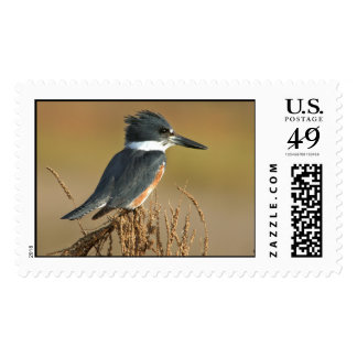 Belted Kingfisher Stamp