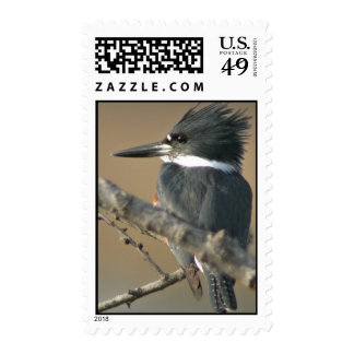 Belted Kingfisher Postage Stamps