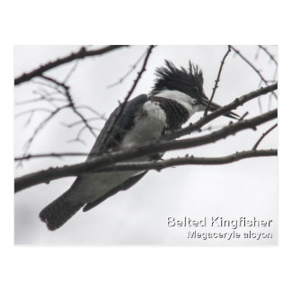 Belted Kingfisher Postcard