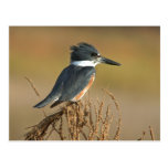 Belted Kingfisher Postcard